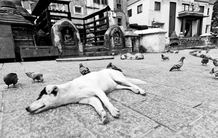 Dog, Kathmandu, Monkey Temple, Nepal, Pigeon, Swayambhunath