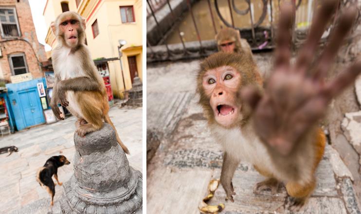 Dog, Kathmandu, Monkey, Monkey Temple, Nepal, Slap, Swayambhunath