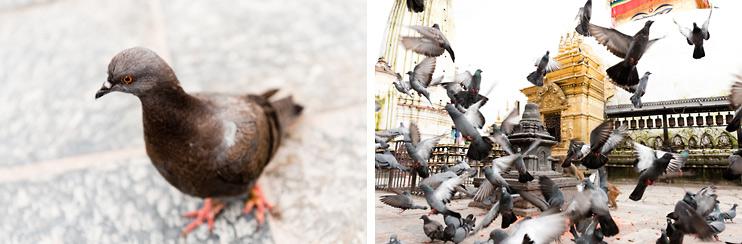 Kathmandu, Monkey Temple, Monkey, Nepal, Pigeon, Swayambhunath