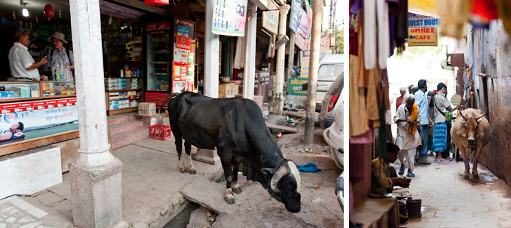 Alley, Bull, Cow, India, Sejin, Varanasi