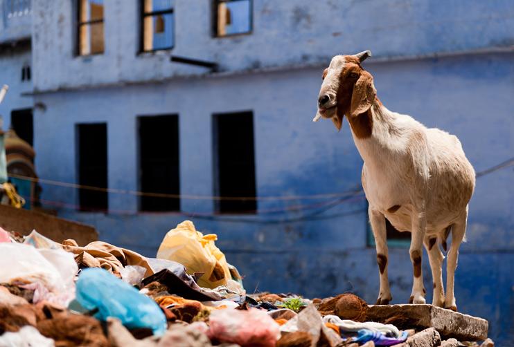 Goat, India, Varanasi