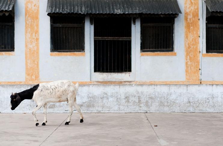 Goat, India, Rooftop, Varanasi