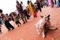 Bhaktapur, Dog, Durbar Square, Gai Jatra, Nepal