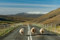 Highway, Iceland, Sheep