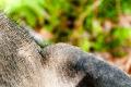 Elephant Ear, Elephant Trekking, Krabi, Thailand
