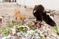 Cow, Dog, Garbage, Rubble, Tibet, Tingri